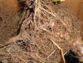 На фото корень подсолнуха
