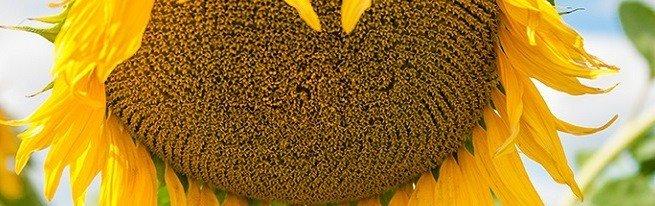 Гибриды подсолнечника с наилучшими показателями урожайности и устойчивости к болезням