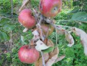 На фото яблоня