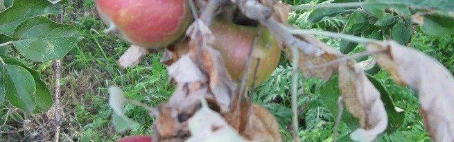 Наиболее опасные вредители яблонь, как с ними бороться