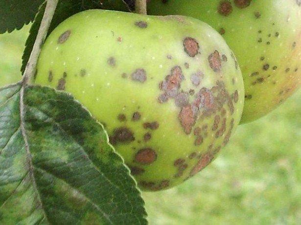 Фото поврежденных яблок