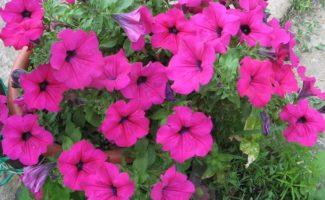 Петуния ампельная – какие сорта выбрать, чтобы получить восхитительные гирлянды ярких цветов?
