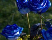 Фото синих роз