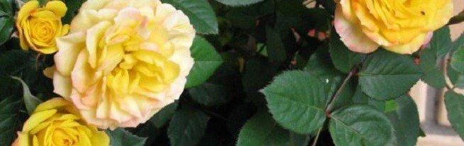 Розы в горшках – можно ли вырастить прекрасные розы в домашних условиях?