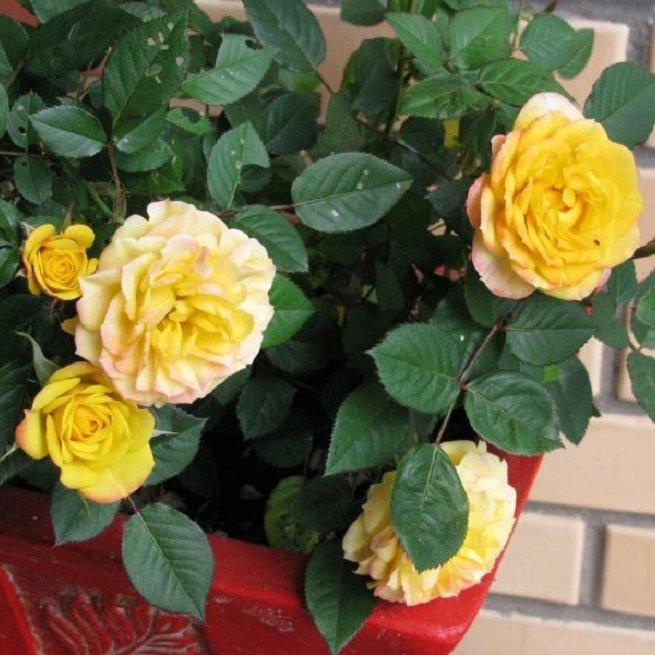 Фото домашней розы