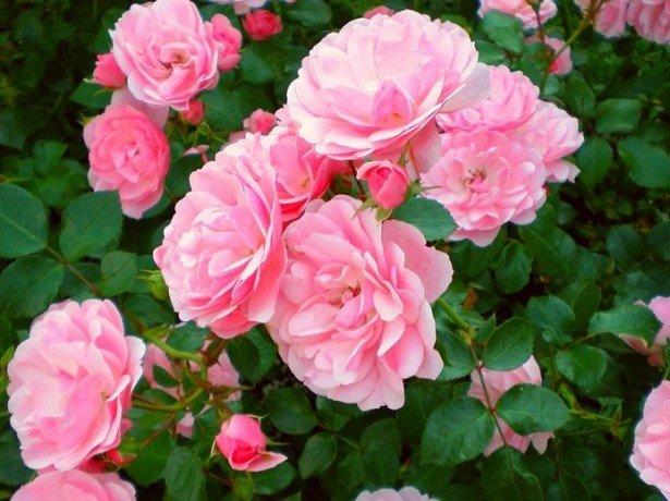 На фотографии чайные розы