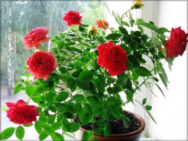 На фотографии комнатные розы
