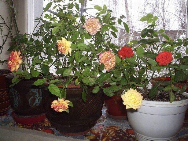 На фотографии домашние розы