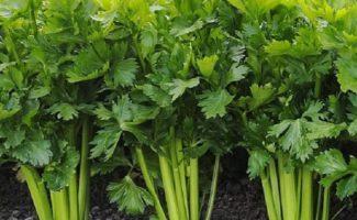 Секреты выращивания корневого сельдерея – на что нужно обратить внимание