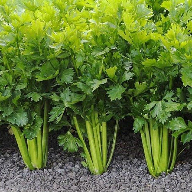 Лечебные свойства сельдерея и секреты выращивания