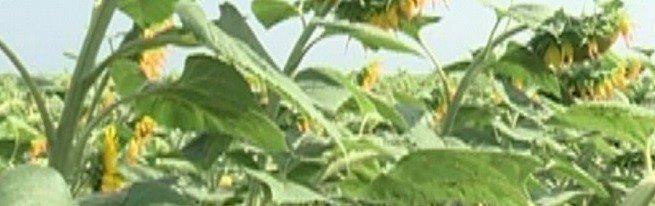 Уборка подсолнечника в оптимальные сроки с наименьшими потерями урожая