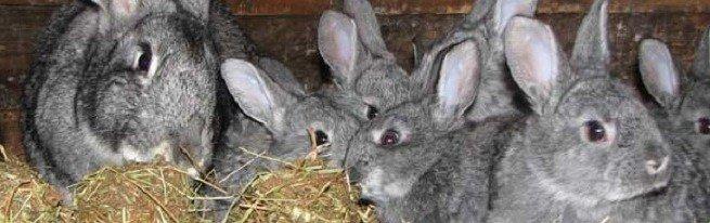 Уход за кроликами в домашнем хозяйстве