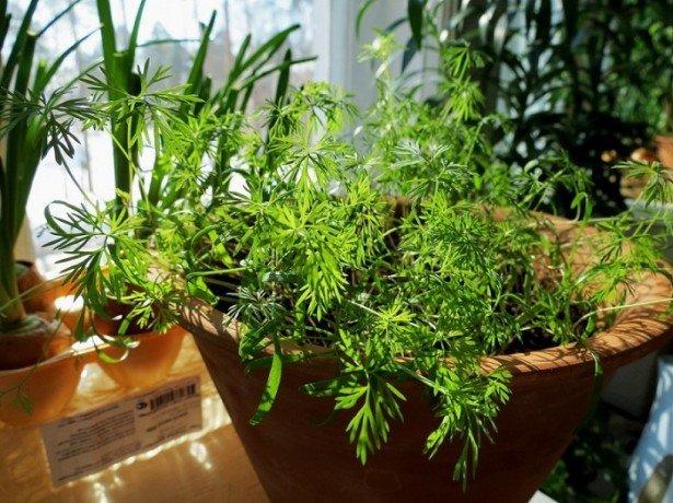 Фото выращивания укропа на подоконнике