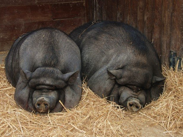 Опорос вьетнамской свиньи: рассматриваем все тонкости процесса