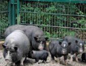 На фото вьетнамские свиньи