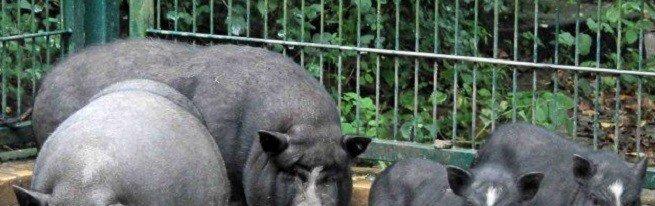 Вьетнамская вислоухая свинья – преимущества породы и особенности выращивания
