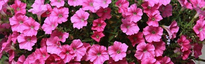 Выбираем махровые сорта петунии, капризной красавицы цветника