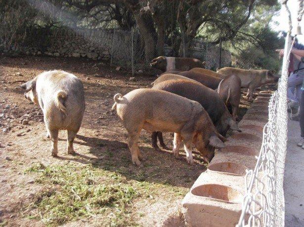 На фото свиньи