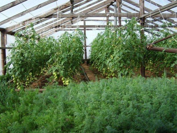 Фото выращивания укропа в теплице