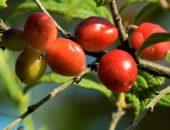 На фото гибрид вишни и сливы