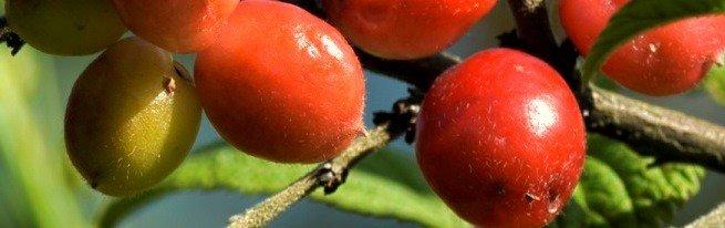 Черевишня, вишнеслива и церападус - удивительные гибриды вишни