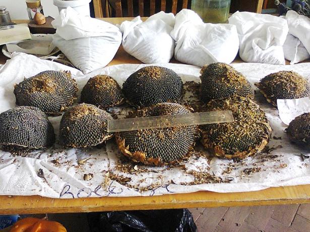 На фото обработка семян подсолнечник