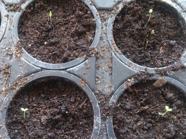 На фото выращивание рассады петунии