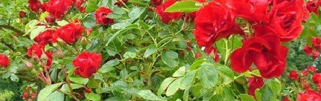 Как ухаживать за розами в саду в разное время года