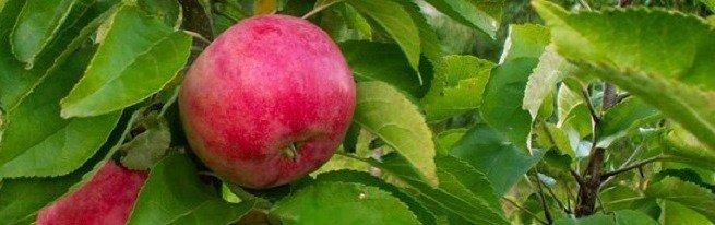 Как вырастить яблоню и правильно ухаживать за ней, чтобы собирать хороший урожай