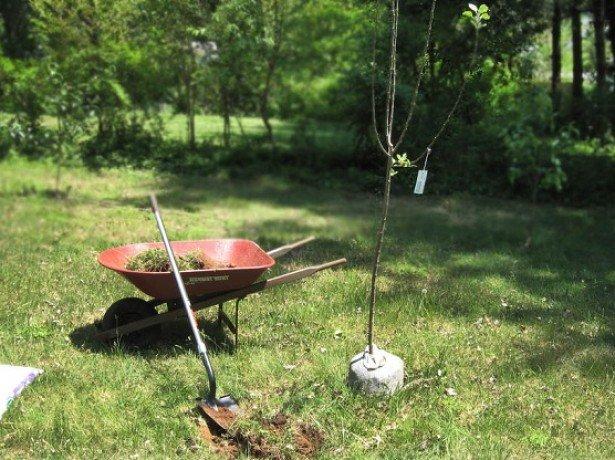 На фото подготовительные работы к посадке яблони