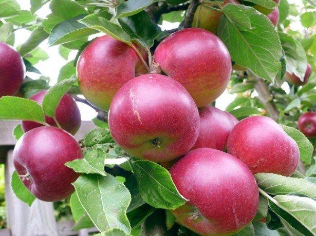 Фотография яблок