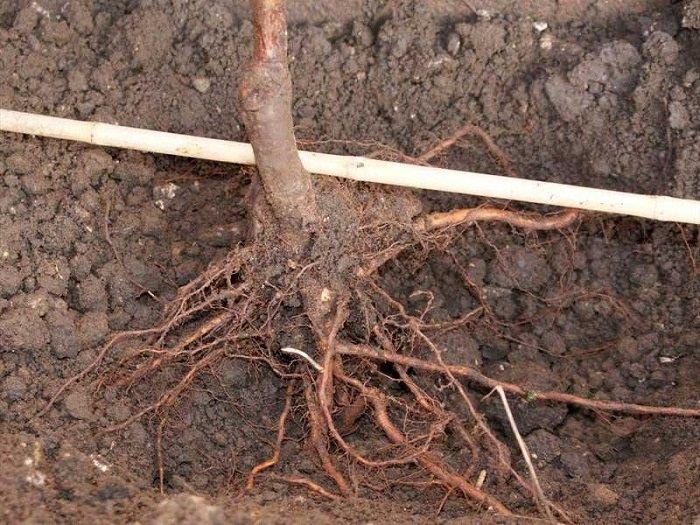 Почему нельзя сажать дуб 14