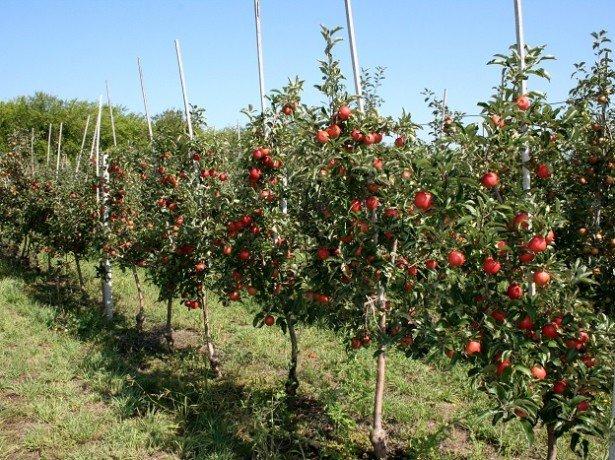 Фотография карликовых яблонь