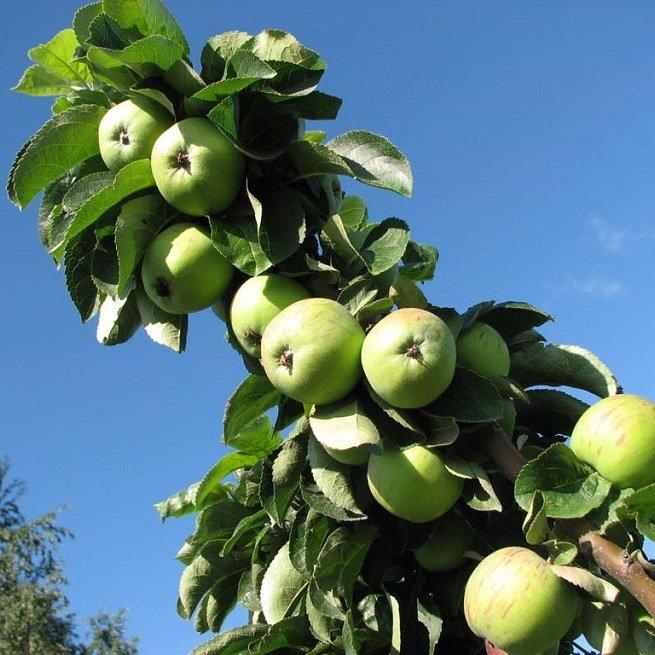Особенности посадки и выращивание яблонь на карликовой подвое - Медоносы