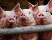 Фото свиней