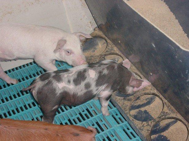 Кормушка свиньям своими руками