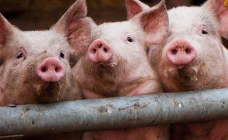 Кормушки для свиней, поилки и клетки своими руками
