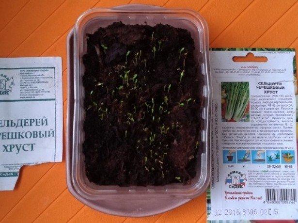 На фото рассадный способ выращивания сельдерея