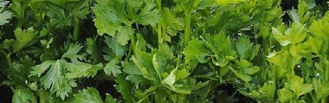 Листовой и черешковый сельдерей: выращивание по всем правилам