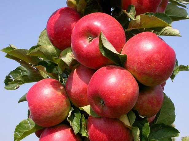 Яблоня радогость описание сорта фото