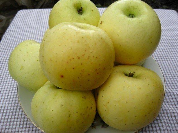 сорт яблок богатырь фото
