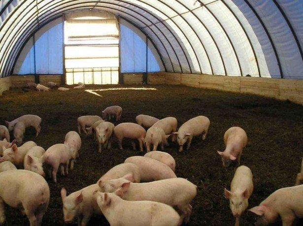 Фото канадской технологии выращивания свиней