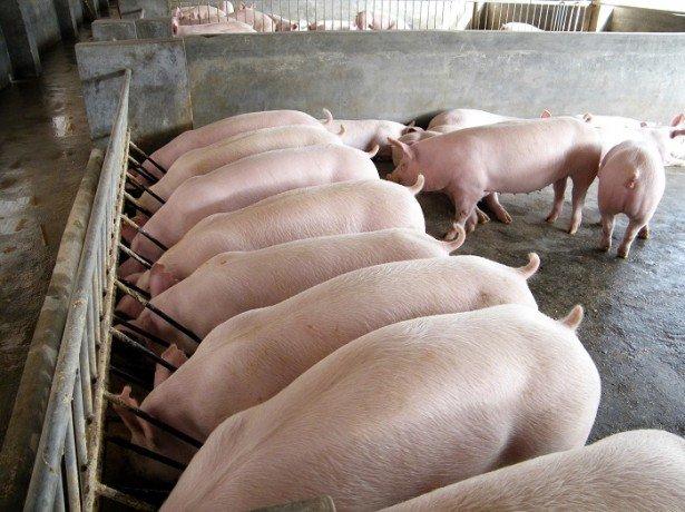 Фото датской технологии выращивания свиней