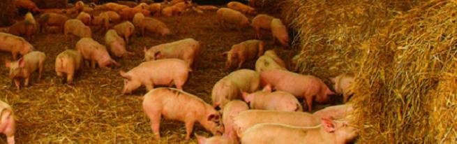 Новые технологии выращивания свиней: холодное содержание, двухфазная и канадская технология