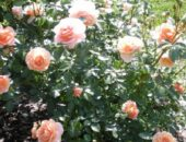 Фотография роз