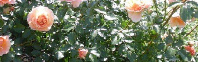 Пересадка роз на новое место – что нужно учесть, чтобы пересаженные розы прижились?