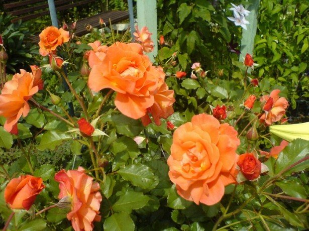 Можно ли розы пересаживать летом