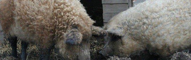 Породы свиней, подходящие для разведения в России