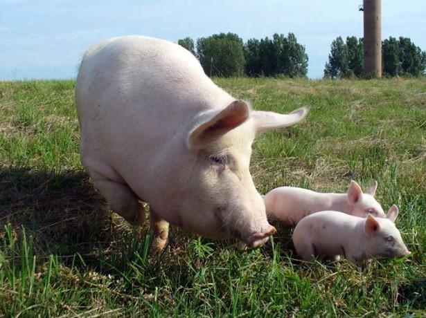 """Фото свиньи породы """"Украинская степная белая"""""""