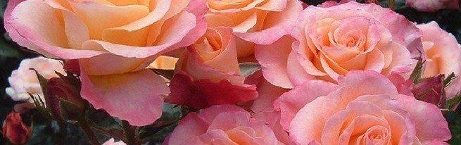 Посадка роз по всем правилам – от выбора саженцев до высаживания в цветник